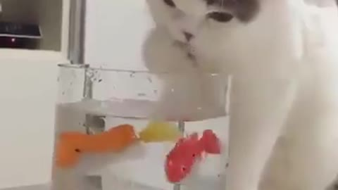 Amazing cat trying to catch fish from the cup
