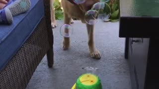 Dog enjoys bubble machine - Video