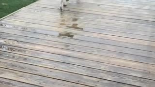 German shepherd dog on deck pushes door open and barks at owner