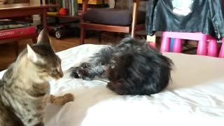 Dog and Cat play Hide & Seek, then a Wrestling Game - Cat Wins every time!  - Video