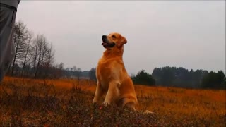 Golden Retriever performs impressive tricks
