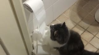 Cat loves toilet paper roll - Video