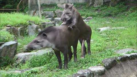 Brazilian Tapir is Too Long to Get it On