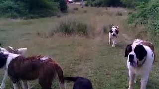 a walk of beautiful dogs - Video