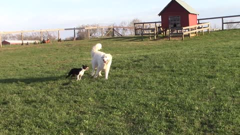 Boston terrier vs. Great Pyrenees: part 2