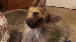 Check out this puppy's head tilts to dogs barking the Darth Vader theme song