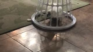 Cookie the Cockatoo drives basket around home - Video