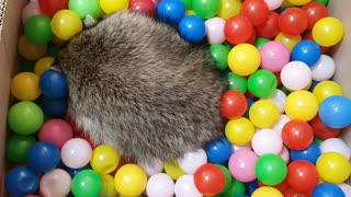 Raccoon plays in colorful balls.