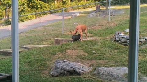 Piglet And Big Dog Make For Unlikely Duo