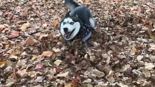 Playful Husky Runs Merrily Through Fallen Leaves - Video