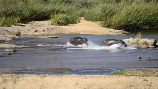 Epic... Hippo chase each other in the river! - Video