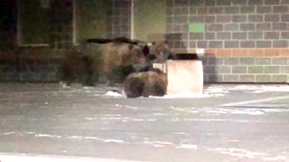 Brown Bears in the City