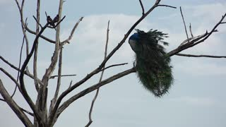 Alone peacock on the tree branch-unique captured of nature with high-quality-isolated peacock  - Video