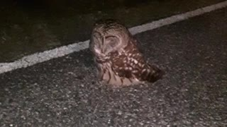 Injured Owl Rescued from Road