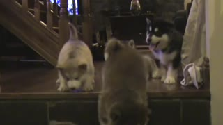 Alaskan Malamute Puppies (6weeks old) pt2.  - Video