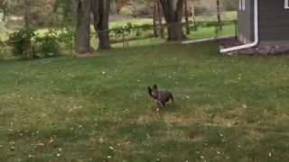 French bulldog doesn't chase ball - Video