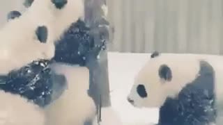 Panda bear paly together
