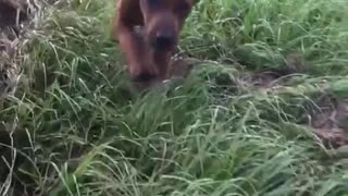 Brown hound dog running through tall grass in slowmo