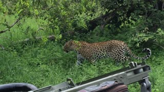 Tiny bird startles leopard in wild - Video
