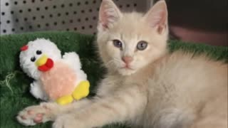 Kitten Couldn't Walk or Stand, Crippled Without Hope, See His Reaction When... - Video