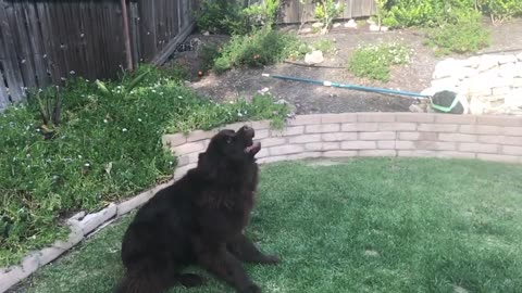 Will this Newfoundland EVER catch the treat?