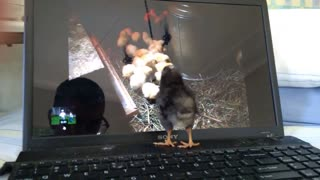 Baby Chick watching Baby Chicks 🐤