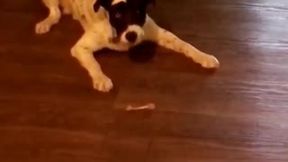 Dog Loves Playing With Bones - Video
