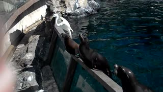Screaming seal at sea world