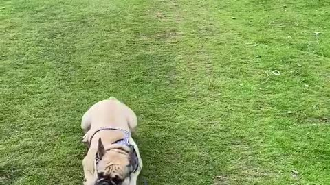 Frenchie makes a quick getaway from those sheep