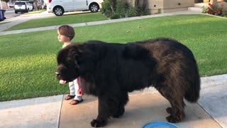 Toddler has no problem walking massive dog