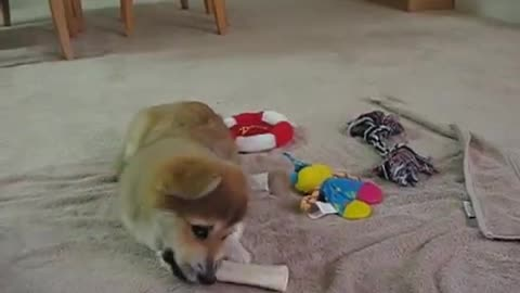Corgi puppy adorably chews on toy