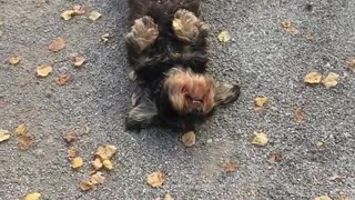 Dog laying on its back and wagging its tail - Video