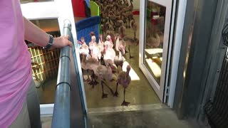 Adorable baby flamingo parade will melt your heart!