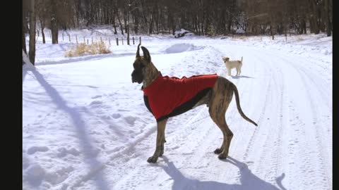 Great Danes and Terrier having a blast in snow