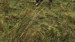 Border Collie Loves to Herd - Video