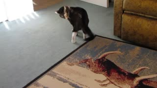Angry Cat Battles With Her Own Tail