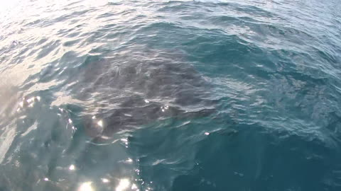 Giant Manta Ray swims right at side of boat