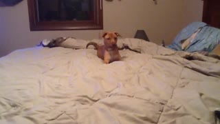 Excitable Puppy Plays Himself Right Off A Bed - Video