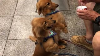 Pair of cutest dogs ever enjoy their ice cream in Kochi, Japan