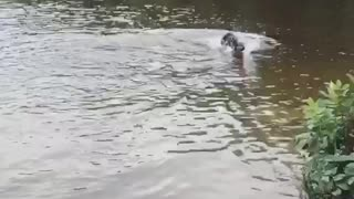 Excited black dog splashing water