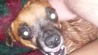 Dog angrily gets pet by owner