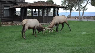 Elk Fighting in the Grand Canyon - Video
