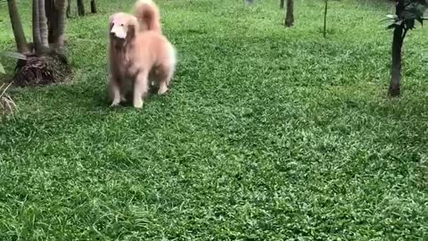 Ecstatic Golden Retriever really wants to play fetch
