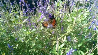 Monarch Butterfly On Flowers - Video