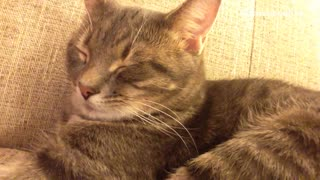 Calico cat sits on couch and snores while sleeping  - Video