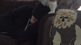 Corgi puppy climbs on owner sleeping on couch  - Video