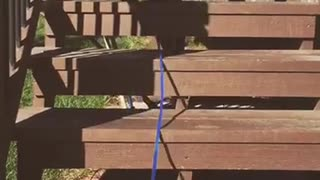 Black dog blue leash climbing up wooden stairs outside - Video