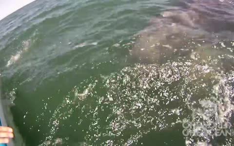 Incredible whale encounter! Watch a mother lift her calf out of water
