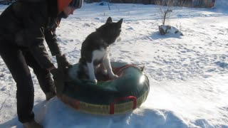 Siberian Husky enjoys sledding in the snow - Video