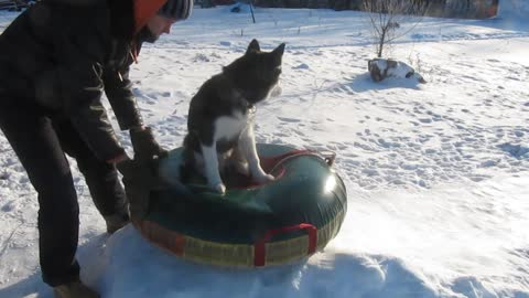 Siberian Husky enjoys sledding in the snow